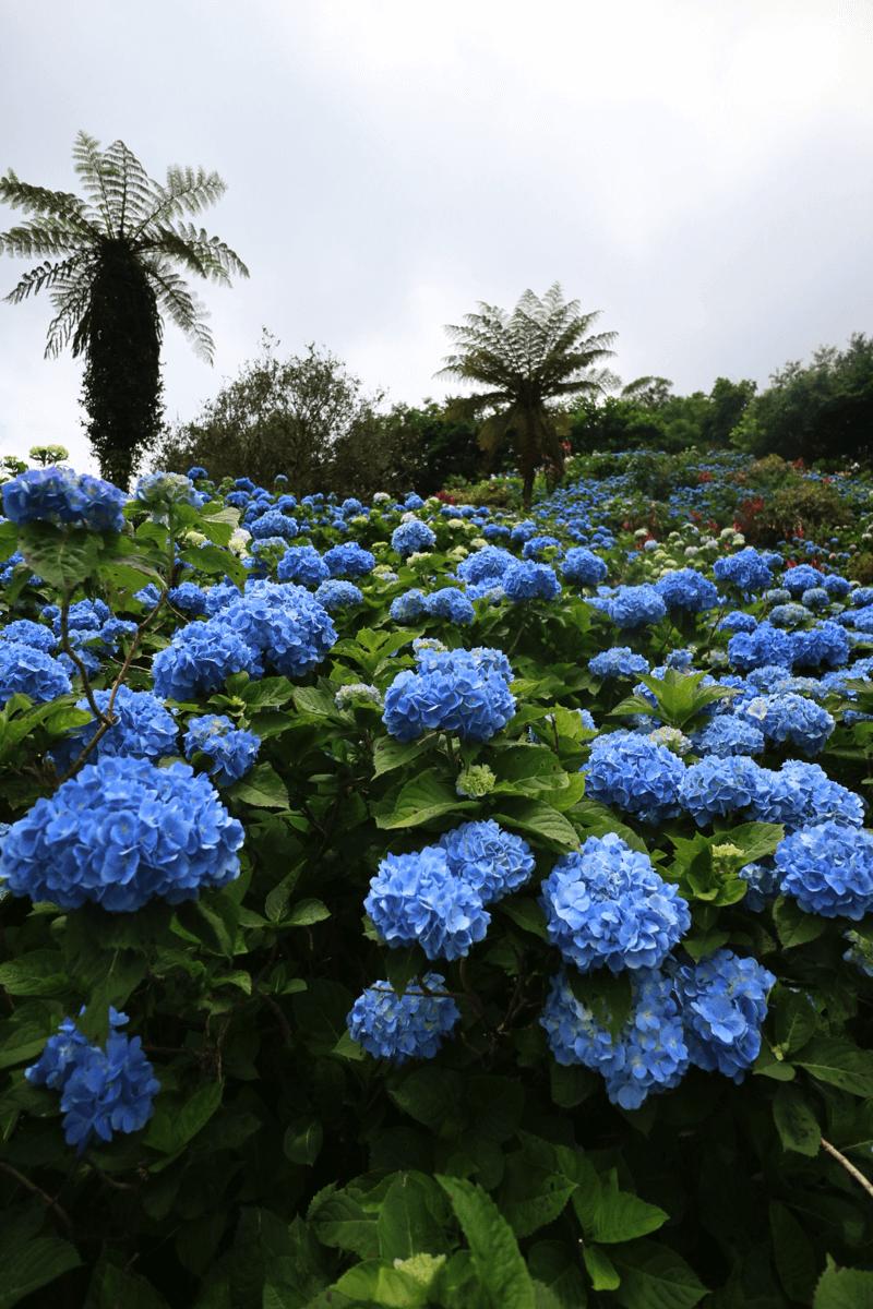 【沖縄】西日本ベスト6位に選ばれた「よへなあじさい園」6月上旬まで、オススメ!